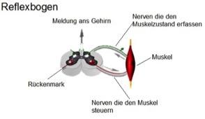 Reflexbogen